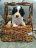 English Springer Spaniel Puppies for sale in Waldron, MI 49288, USA. price: NA