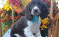 English Springer Spaniel Puppies for sale in Phoenix, AZ 85019, USA. price: NA
