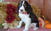 English Springer Spaniel Puppies for sale in Detroit, MI, USA. price: NA
