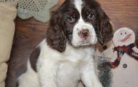 English Springer Spaniel Puppies for sale in Cambridge, MA 02141, USA. price: NA