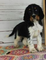 English Springer Spaniel Puppies for sale in New Orleans, LA 70116, USA. price: NA