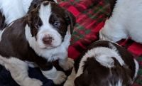 English Springer Spaniel Puppies for sale in Boston, MA, USA. price: NA