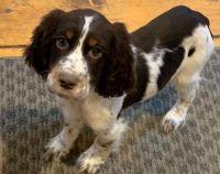 English Springer Spaniel Puppies for sale in Birmingham, AL, USA. price: NA