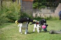 English Springer Spaniel Puppies for sale in Boston, MA, USA. price: NA