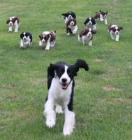 English Springer Spaniel Puppies for sale in Russell Springs, KY 42642, USA. price: NA