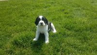 English Springer Spaniel Puppies for sale in Alta Vista, IA 50603, USA. price: NA