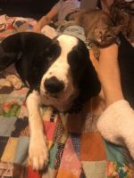 English Springer Spaniel Puppies for sale in Live Oak, TX, USA. price: NA