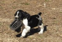English Springer Spaniel Puppies for sale in Detroit, MI, USA. price: NA