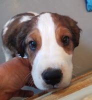 English Springer Spaniel Puppies for sale in Phoenix, AZ, USA. price: NA