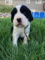 English Springer Spaniel Puppies for sale in Lynden, WA 98264, USA. price: NA
