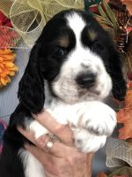 English Springer Spaniel Puppies for sale in Gadsden, AL, USA. price: NA