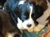 English Springer Spaniel Puppies for sale in Underwood, ND 58576, USA. price: NA