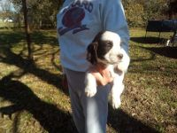 English Springer Spaniel Puppies for sale in Franklin, KS 66735, USA. price: NA