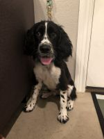 English Springer Spaniel Puppies for sale in Abilene, TX, USA. price: NA
