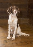 English Springer Spaniel Puppies for sale in Houtzdale, PA 16651, USA. price: NA