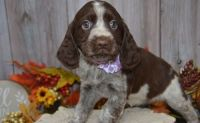 English Springer Spaniel Puppies for sale in Bethany, LA 71007, USA. price: NA
