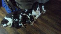 English Springer Spaniel Puppies for sale in Altoona, AL 35952, USA. price: NA