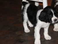 English Springer Spaniel Puppies for sale in Albany, GA, USA. price: NA