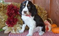 English Springer Spaniel Puppies for sale in Lansing, MI, USA. price: NA