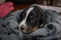 English Springer Spaniel Puppies for sale in Dexter, MI 48130, USA. price: NA