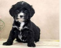 English Springer Spaniel Puppies for sale in Parkville, MD, USA. price: NA