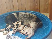 English Springer Spaniel Puppies for sale in Iota, LA 70543, USA. price: NA