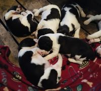 English Springer Spaniel Puppies for sale in Delmont, PA 15626, USA. price: NA