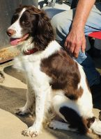 English Springer Spaniel Puppies Photos