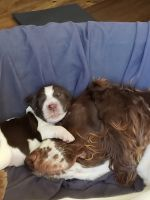 English Springer Spaniel Puppies for sale in Brentwood, CA 94513, USA. price: NA
