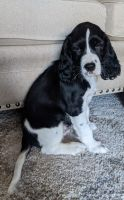 English Springer Spaniel Puppies for sale in Montgomery, TX 77356, USA. price: NA