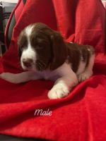 English Springer Spaniel Puppies for sale in Snyder, CO 80750, USA. price: NA
