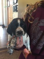 English Springer Spaniel Puppies for sale in Lonsdale, MN 55046, USA. price: NA