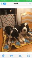 English Springer Spaniel Puppies for sale in NY-32, New York, USA. price: NA
