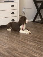 English Springer Spaniel Puppies for sale in Crowley, TX 76036, USA. price: NA