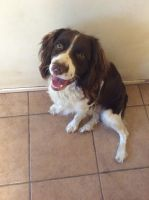 English Springer Spaniel Puppies for sale in Calimesa, CA, USA. price: NA