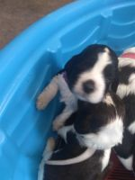 English Springer Spaniel Puppies for sale in Spokane, WA, USA. price: NA