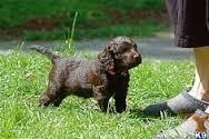English Water Spaniel Puppies Photos