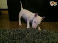 English White Terrier Puppies for sale in Los Angeles, CA, USA. price: NA