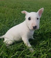 English White Terrier Puppies for sale in Anaheim, CA, USA. price: NA