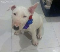 English White Terrier Puppies for sale in San Francisco, CA, USA. price: NA