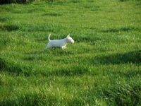 English White Terrier Puppies for sale in NJ-38, Cherry Hill, NJ 08002, USA. price: NA