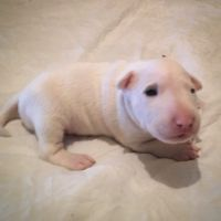 English White Terrier Puppies for sale in AR-98, Emerson, AR 71740, USA. price: NA