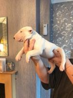 English White Terrier Puppies for sale in Denver, CO, USA. price: NA