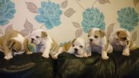 English White Terrier Puppies for sale in Indianapolis, IN, USA. price: NA