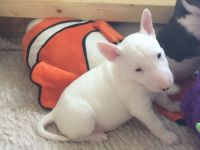 English White Terrier Puppies for sale in California St, San Francisco, CA, USA. price: NA