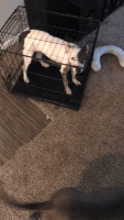 English White Terrier Puppies for sale in Dallas, TX, USA. price: NA