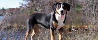 entlebucher mountain dog dog