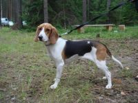 estonian hound dog