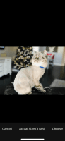 Exotic Shorthair Cats for sale in Jacksonville, FL 32218, USA. price: NA