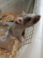 Fat Mouse Rodents for sale in Dayton, OH 45419, USA. price: NA